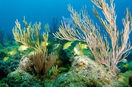 elkhorn coral: Sea Rods on a reef with French Grunts swimming between, picture taken in south east Florida