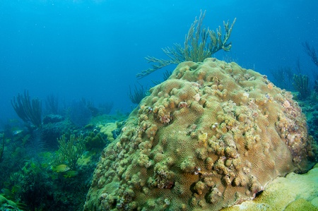 nekton: Coral Reef compositon with larg coral head in foreground