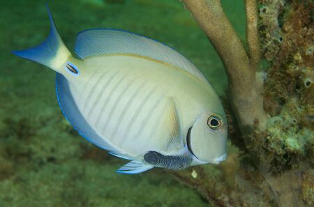Doctorfish picture taken in south east Florida Stock Photo - 12753889