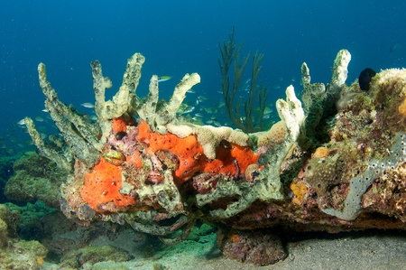 elkhorn coral: Coral Ledge Composition picture taken in south east Florida