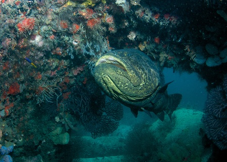 nekton: Goliath Grouper hovering among construction debris used to create an artificial reef.