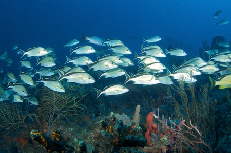 School of grunts over a reef in south east Florida.