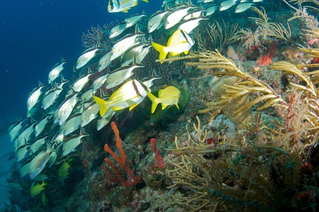 nekton: School of grunts over a reef in south east Florida.