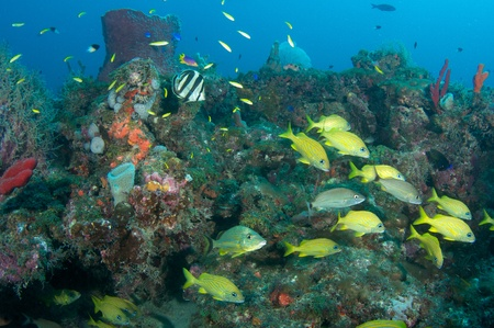 Many different species of fish on a reef ledge in south east Florida.