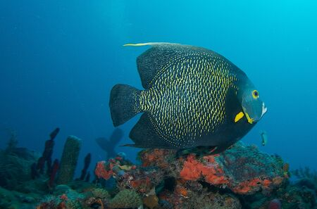 reeffish: French Angelfish on a reef ledge in south east Florida.