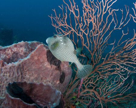 nekton: Spotted Trunkfish on a reef in south east Florida.