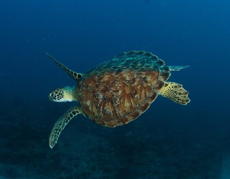 nekton: Green Turtle on a reef in south east Florida. Stock Photo