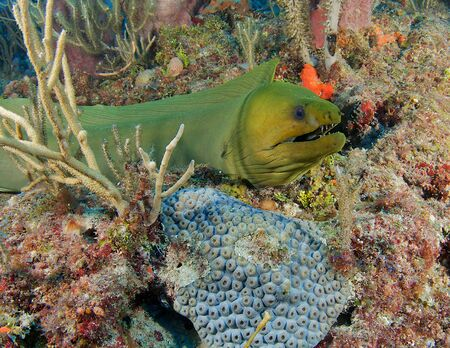 nekton: Green Moray Eel on a reef in south east Florida. Stock Photo
