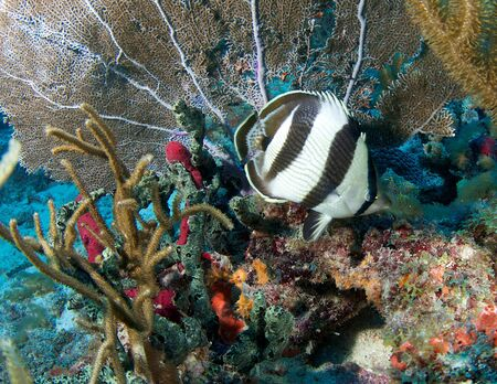 Reef Composition with Banded Butterflyfish picture taken in south east Florida.