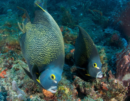 Pair of French Angelfish on a reef in south east Florida.