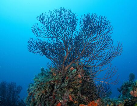 Deepwater Sea Fan, picture taken in south east Florida.