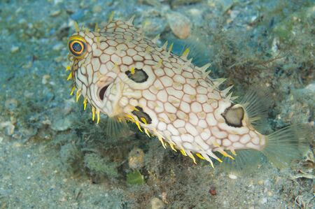 Webbed Burrfish, picture taken in south east Florida. Stock Photo - 12755279