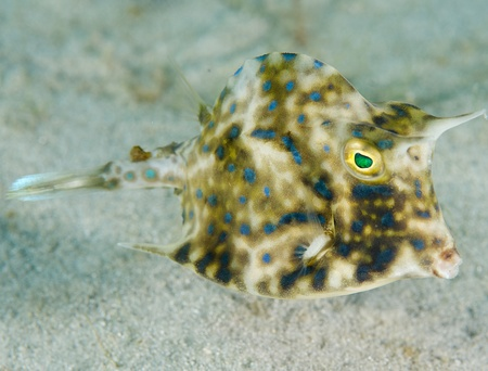 Scrawled Cowfish, picture taken in south east Florida.