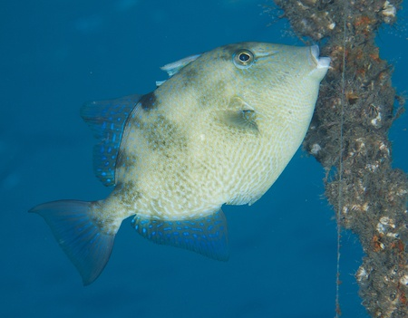 triggerfish: Gray Triggerfish, picture taken in south east Florida.
