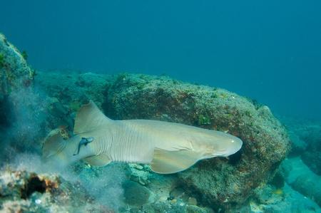 reeffish: Nurse Shark, picture taken in south east Florida.