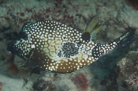Smooth Trunkfish, picture taken in south east Florida. photo