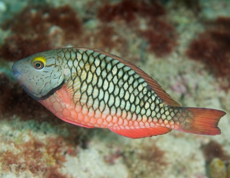 reef fish: Juvenile Stoplight Parrotfish on a reef in south east Florida.