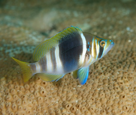 reeffish: Barred Hamlet on a reef in south east Florida Stock Photo