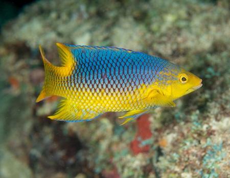 nekton: Juvenile Spanish Hogfish, picture taken in south east Florida.