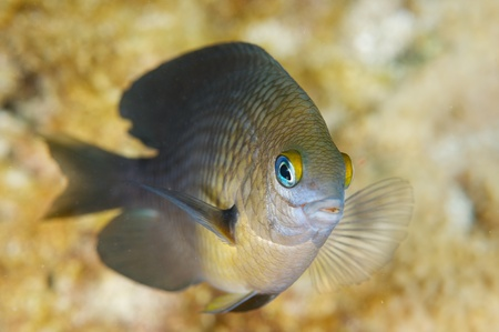 damselfish: Three Spot Damselfish, picture taken in south east Florida.