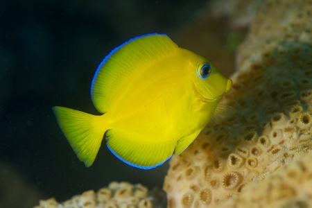 Juvenile Blue Tang, picture taken in south east Florida. Stock Photo - 12753826