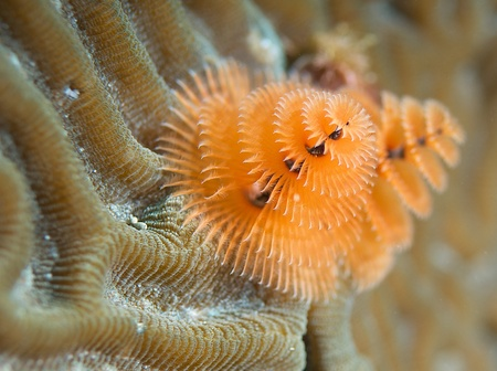 Christmas Tree Worm picture taken in south east Florida. Stock Photo - 12753903