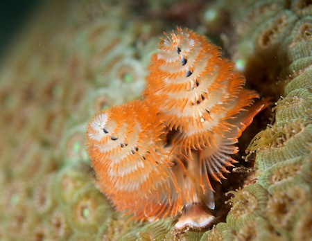 Christmas Tree Worm picture taken in south east Florida. photo