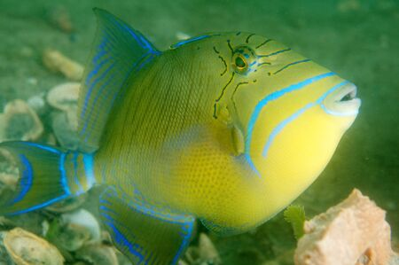 triggerfish: Queen Triggerfish, picture taken in south east Florida. Stock Photo