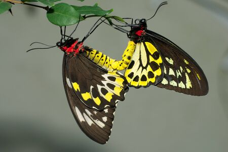 Mating Pair of Cairns Birdwing Butterfly perched on tree leaf. Stock Photo