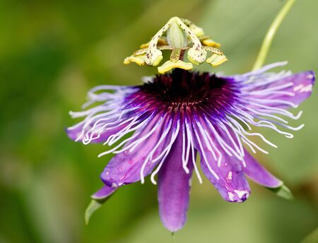 Beautiful purple passiflora flower in full bloom, south Florida.