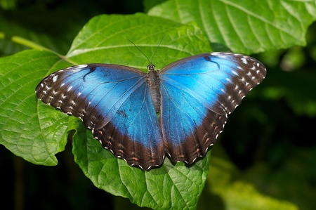 broad leaf: Blue Morpho Butterlfy on a broad leaf plant. Stock Photo