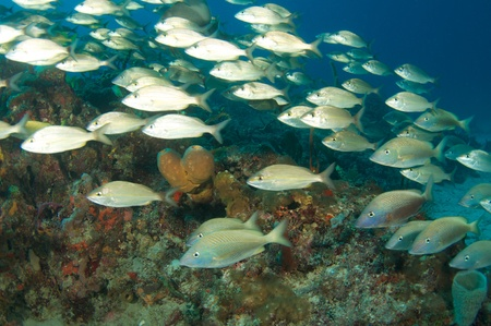 reef fish: Tomtate Grunts on a reef in south east Florida. Stock Photo