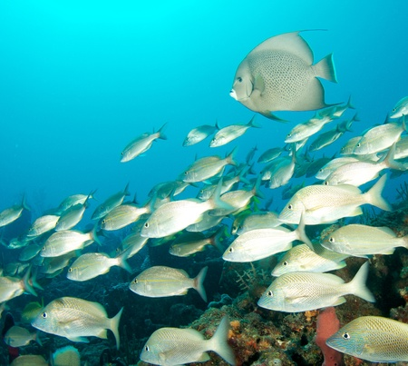 nekton: Gray Angelfish and Tomtate Grunts on a reef in south east Florida.