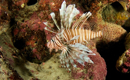 nekton: Lionfish on a reef in south east Florida.