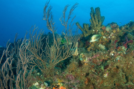gorgonian: Coral Legde Composition showing various species of sponges and sea rods.