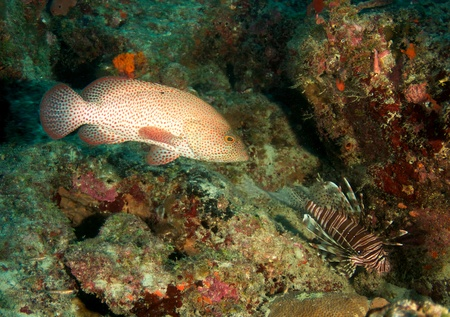 nekton: Graysby and Lionfish on a reef in south east Florida.