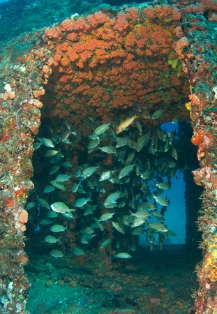 Schooling Grunts inside an artificial reef named the Ancient Mariner.  In the waters off Deerfield Beach, Florida.