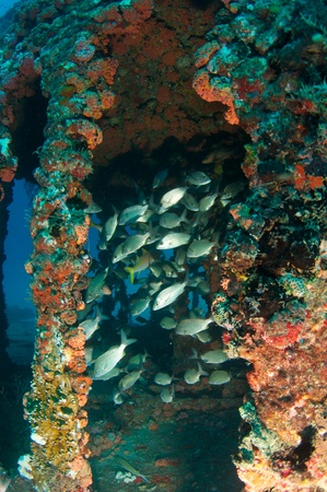Fish aggregation in an artificial reef. photo