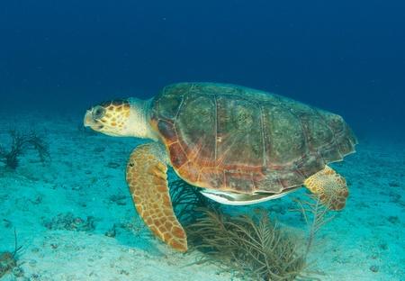 Loggerhead turtle swimming through the water.