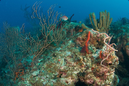 elkhorn coral: Coral Legde Composition showing various species of sponges and sea rods.