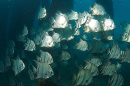 reeffish: Schooling Atlantic Spadefish under a bridge in Palm Beach County Florida.