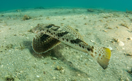 nekton: Bandtail Sea Robin picture taken in south east Florida.