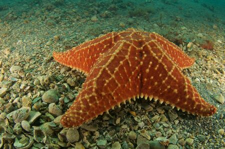 oceanography: Cushion Star on a sandy bottom, picture taken in south east Florida.