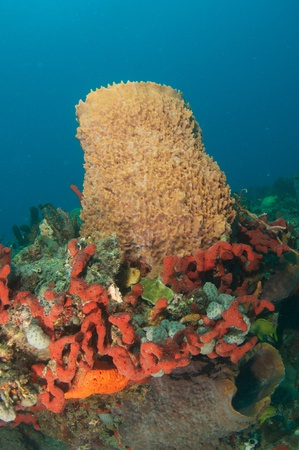 elkhorn coral: Red Finger Sponges and Barrel Sponges Growing in Close Proximity