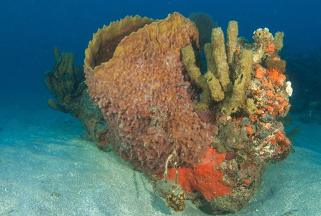 Barrel Sponge and Organ Pipe Sponges on a small coral outcropping in the sand isolated from the reef. Stock Photo - 12823679