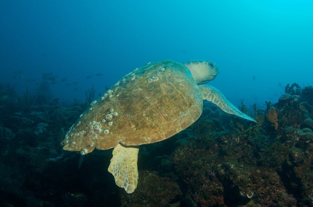 Loggerhead Turtle-Caretta caretta swimming over a reef in south east Florida. photo