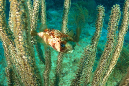 reeffish: Balloonfish hovering in  a sea rod, picture takne in Boca Raton, Florida.