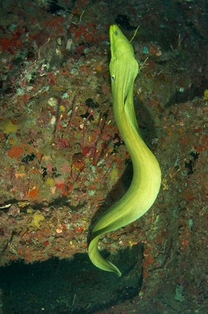 Green Moray Eel swimming on a artificial reef picture taken in south east Florida. Stock Photo