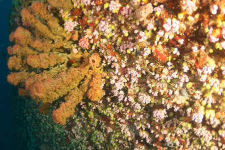 Vase Sponges and Red Cup Coral on the hull an artificial reef named the United Caribbean, in south east Florida. photo
