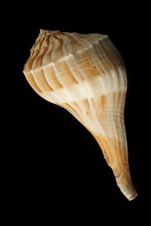 nekton: Lightning Whelk Shell Isolated on Black Background